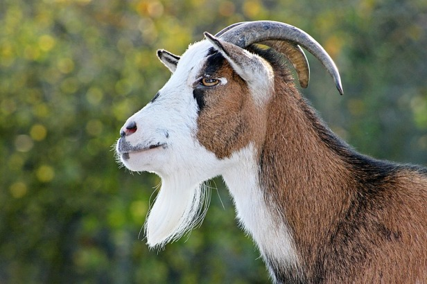 bearded goat